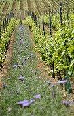 Alternance de Vignes et d'engrais verts dans un vignoble