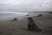 Antarctic fur seals on the shore of South Georgia