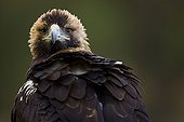 Portrait of a Spanish Imperial Eagle