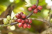 Fruits of Culture Coffee Organic & Fair Madagascar