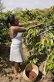 Harvest of  Coffee Organic & Fair Madagascar