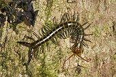 Centipede on wood Anjozorobe Angavo Madagascar