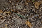 St Lucia Whiptail male in dead leaves Maria Island