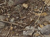 St Lucia Whiptail female in dead leaves Maria Island