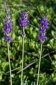 Fine lavender in bloom in a garden ; Lavandula angustifolia subsp. pyrenaica