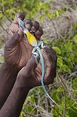 Forestry Department employee showing whip tail lizard venter