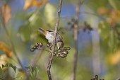 Lesser Antillean Bullfinch eating fruits St Lucia