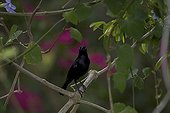 Carib grackle male on a branch St Lucia