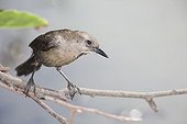 Carib grackle female on a branch St Lucia