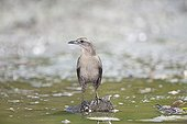 Carib grackle female on a stone in water St Lucia