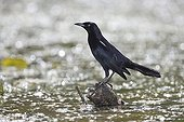 Carib grackle male on a stone in water St Lucia