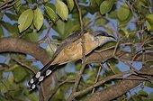 Mangrove cuckoo on a branch St Lucia
