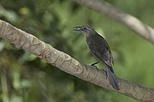 Male Carib grackle on a branch St Lucia
