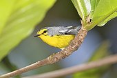 St Lucia warbler on a branch St Lucia