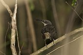 Grey Trembler on a branch St Lucia