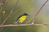 Bananaquit on a branch St Lucia