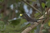 Scaly-breasted Thrasher on a branch with a flower in beak