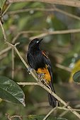 St Lucia oriole on a branch St Lucia