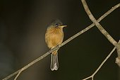 St Lucia pewee on a branch St Lucia