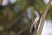 Lesser antillean flycatcher on a branch St Lucia