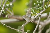 Female Black-faced grassquit on a branch St Lucia