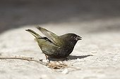 Male Black-faced grassquit on the ground St Lucia
