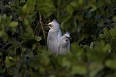 Young Cattle egrets in a tree St Lucia