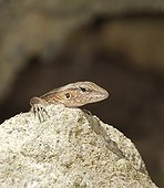 Female St Lucia whiptail on a rock St Lucia