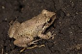 Marine toad on the ground St Lucia