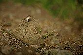 St Lucia tree lizard on a stone St Lucia