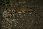 Small Asian Mongoose walking St Lucia