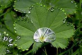 Dew on common lady's mantle leaf