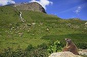 Alpine marmot on a rock face to a mountain Prapic France