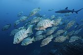 School of Leather Bass and Whitetip Reef Sharp Cocos island