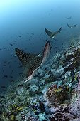Spotted Eagle Rays congregating near the reef Cocos Island ; They gather to begin their courtship