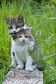Kittens playing in grass Oberbruck France