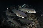 Whitetip Reef Sharks hunting at night Cocos island