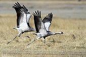 Common Cranes taking off Gallocanta lagoon Spain