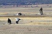 Common Cranes flying Gallocanta lagoon Spain
