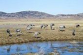 Common Cranes feeding in the Gallocanta lagoon Spain
