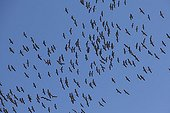 Common Cranes flying in the Gallocanta lagoon Spain