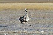Common Cranes walking in the Gallocanta lagoon Spain