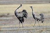 Cranes in courtship behaviour in the Gallocanta lagoon Spain