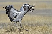Crane in courtship behaviour Lagoon Gallocantain Spain
