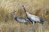 Common Cranes in the lagoon Gallocantain Spain