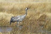 Common Crane in the lagoon Gallocantain Spain