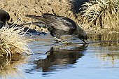 Black crow drinking from Gallocanta Lagoon in Spain