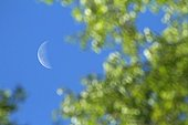 Half moon between the leaves of birch Corsica RNP France
