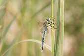 Emperor Dragonfly on a Reed Vaucluse France