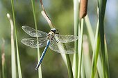 Emperor Dragonfly on a leaf of Cattail in a pool France